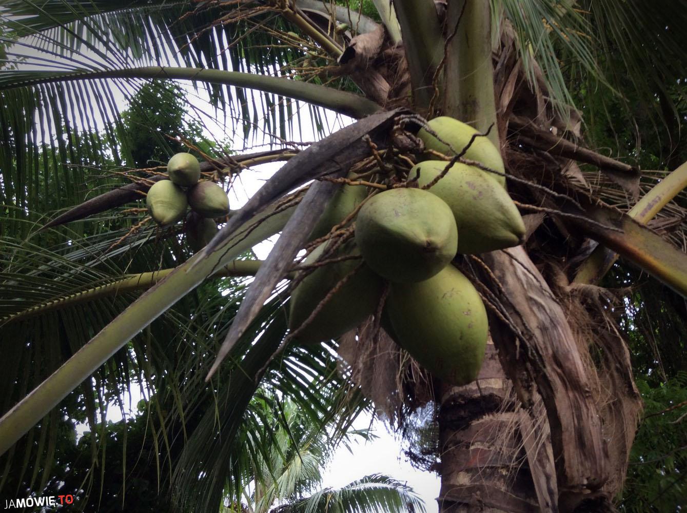 kokos rosnący na drzewie
